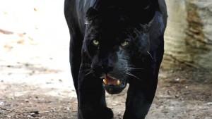 pantera-nera-camminando_1273879352